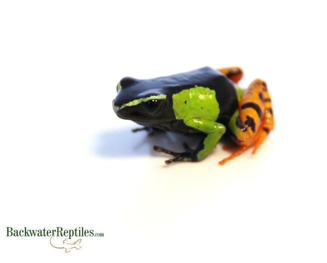 Best pet frogs list