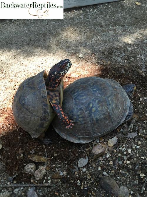 box-turtles-mating