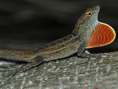 Green anole vs brown anole - photo#12