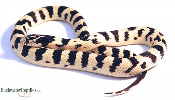 Eight California Kingsnake Morphs - California king snake morphs