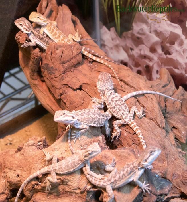 captive bred baby bearded dragons