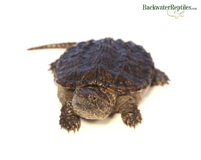 Turtles Archives - Backwater Reptiles Blog