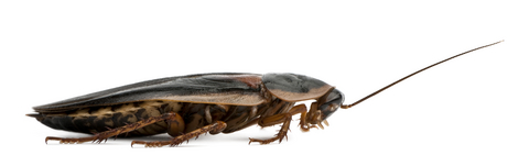 dubia roach breeding