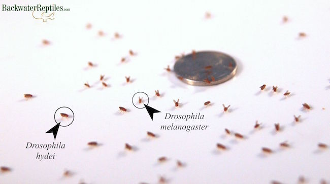 fruit fly comparison