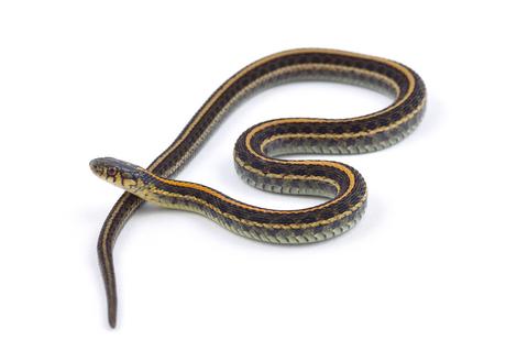 garter snake for kids
