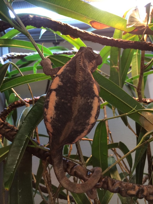 gravid female panther chameleon