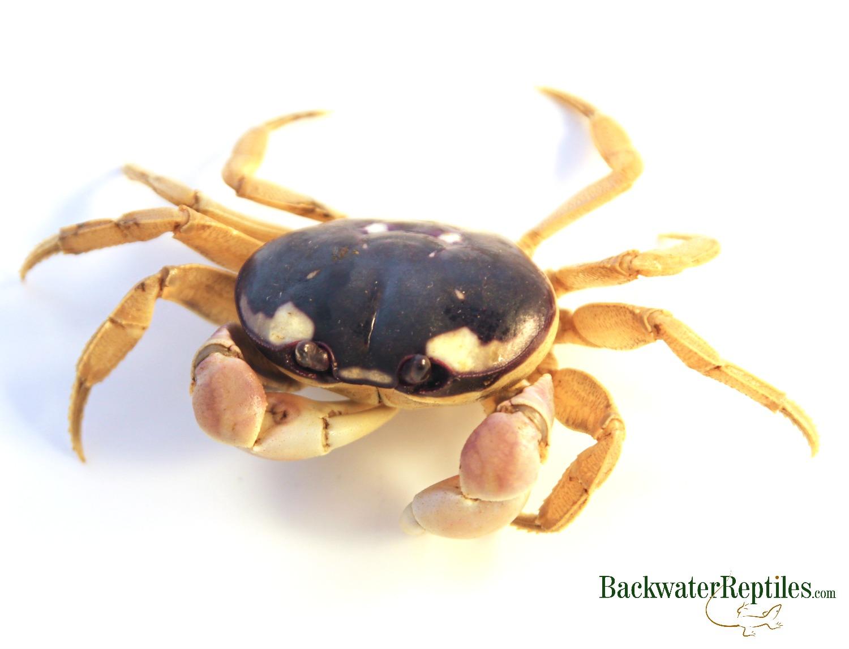 what do halloween crabs eat?