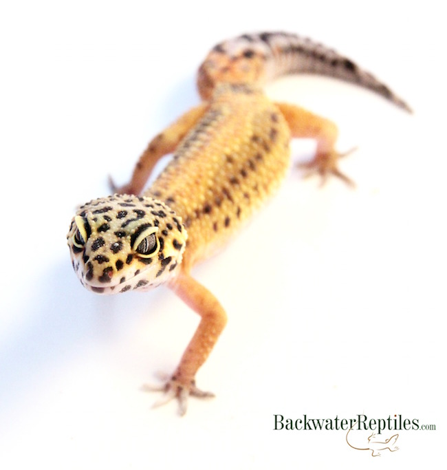 how long leopard geckos live