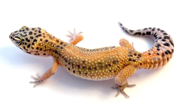 how to breed leopard geckos