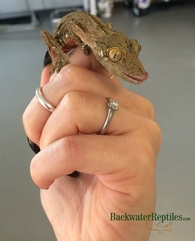 how to pick up a lizard