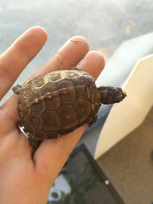juvenile-box-turtle