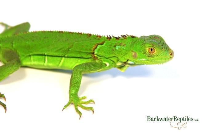 juvenile iguana