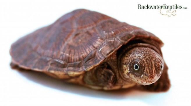 malagasy big-head turtle