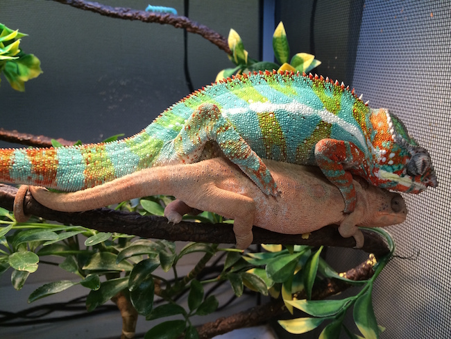 panther chameleons mating