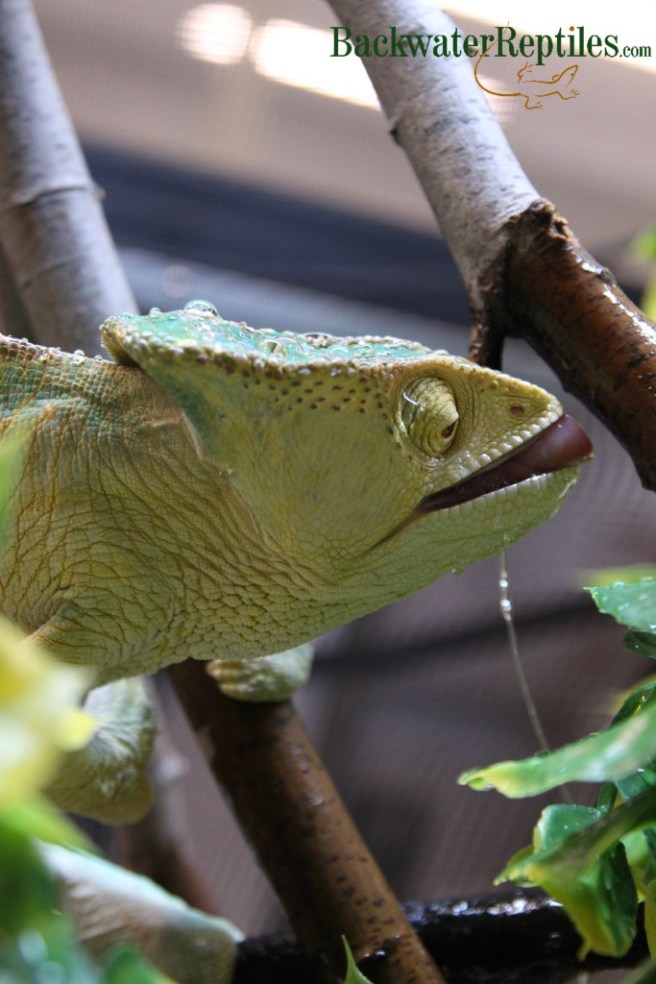 chameleon drinking water