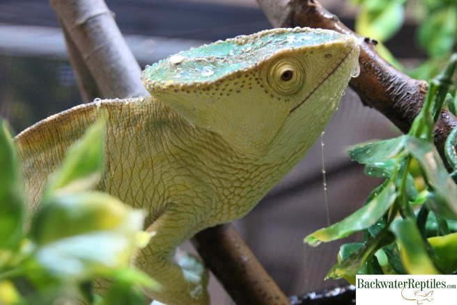 parsons chameleon drinking water