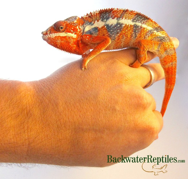 red panther chameleon