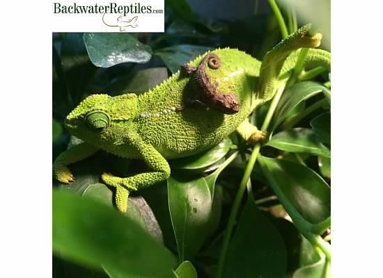 rudis chameleon color