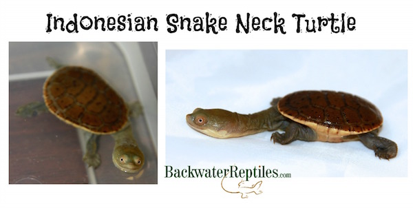 snake neck turtle care sheet