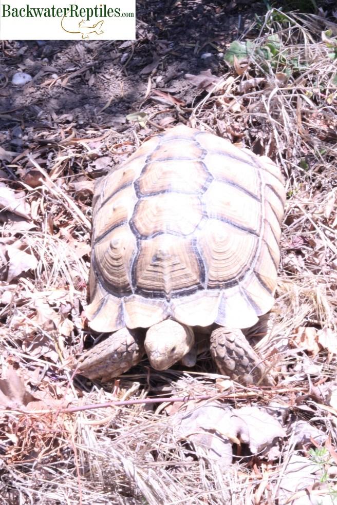 sulcata tortoise outdoors