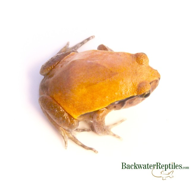 tomato frog picture