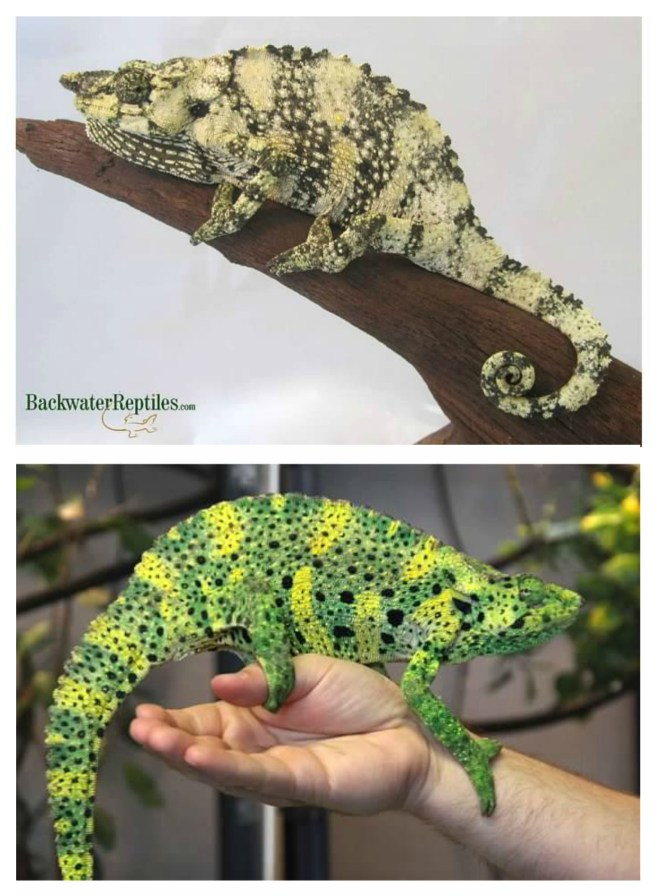 why chameleons change color