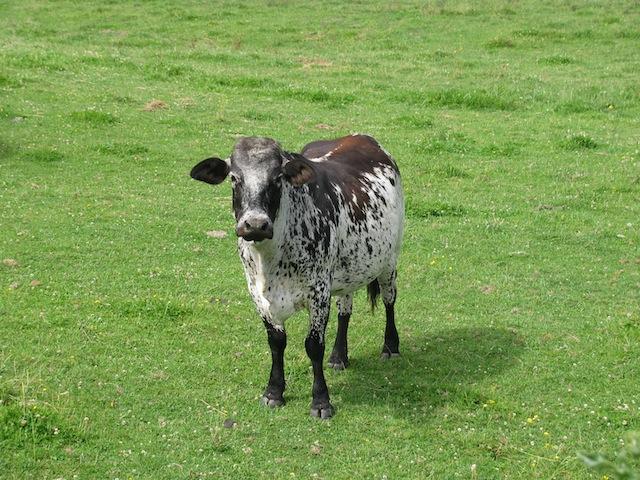 1 - cows
