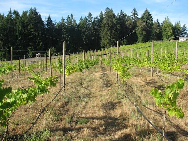 1 - vineyard