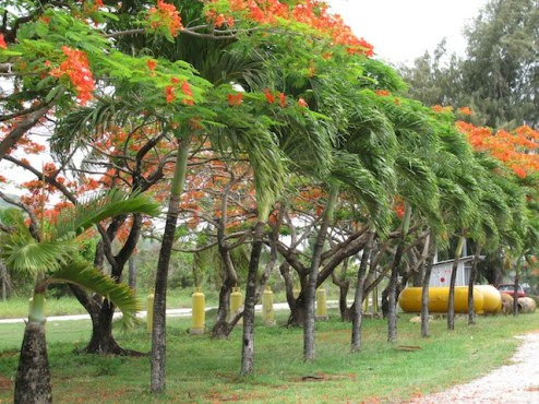 Flame trees along Beach Road.