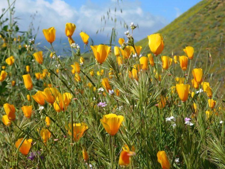 California wildflowers, Walker Canyon, Lake Elsinore