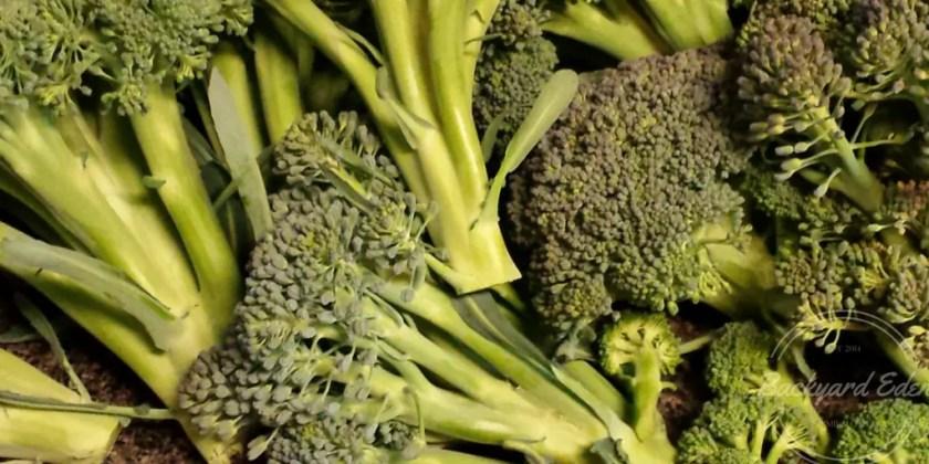 Broccoli harvest, March Garden, Backyard Eden, www.backyard-eden.com
