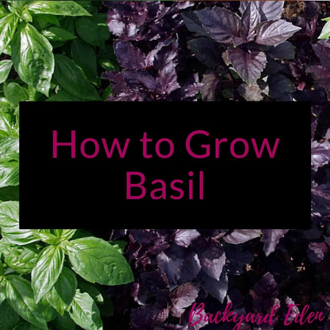 How to grow Basil, growing basil, growing herbs, Backyard Eden, www.backyard-eden.com, www.backyard-eden.com/how-to-grow-basil