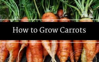 How to Grow Carrots, Carrots, How to Grow, Urban Farmer, Backyard Eden, www.backyard-eden.com