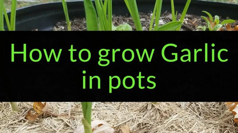 How to grow garlic in pots, growing garlic in pots, Backyard Eden, www.backyard-eden.com, www.backyard-eden.com/how-to-grow-garlic-in-pots