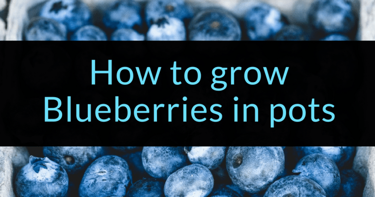 How to grow Blueberries in pots