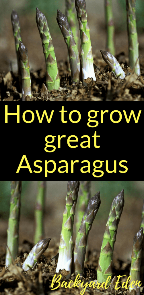 How to grow great Asparagus, grow Asaparagus, Backyard Eden, www.backyard-eden.com, www.backyard-eden.com/how-to-grow-great-asparagus