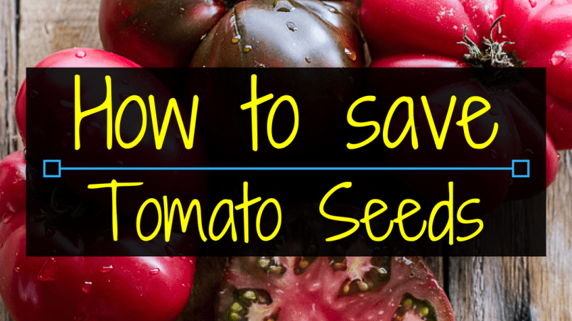 How to save tomato seeds, saving seed, saving tomato seeds, Backyard Eden, www.backyard-eden.com, www.backyard-eden.com/how-to-save-tomato-seeds