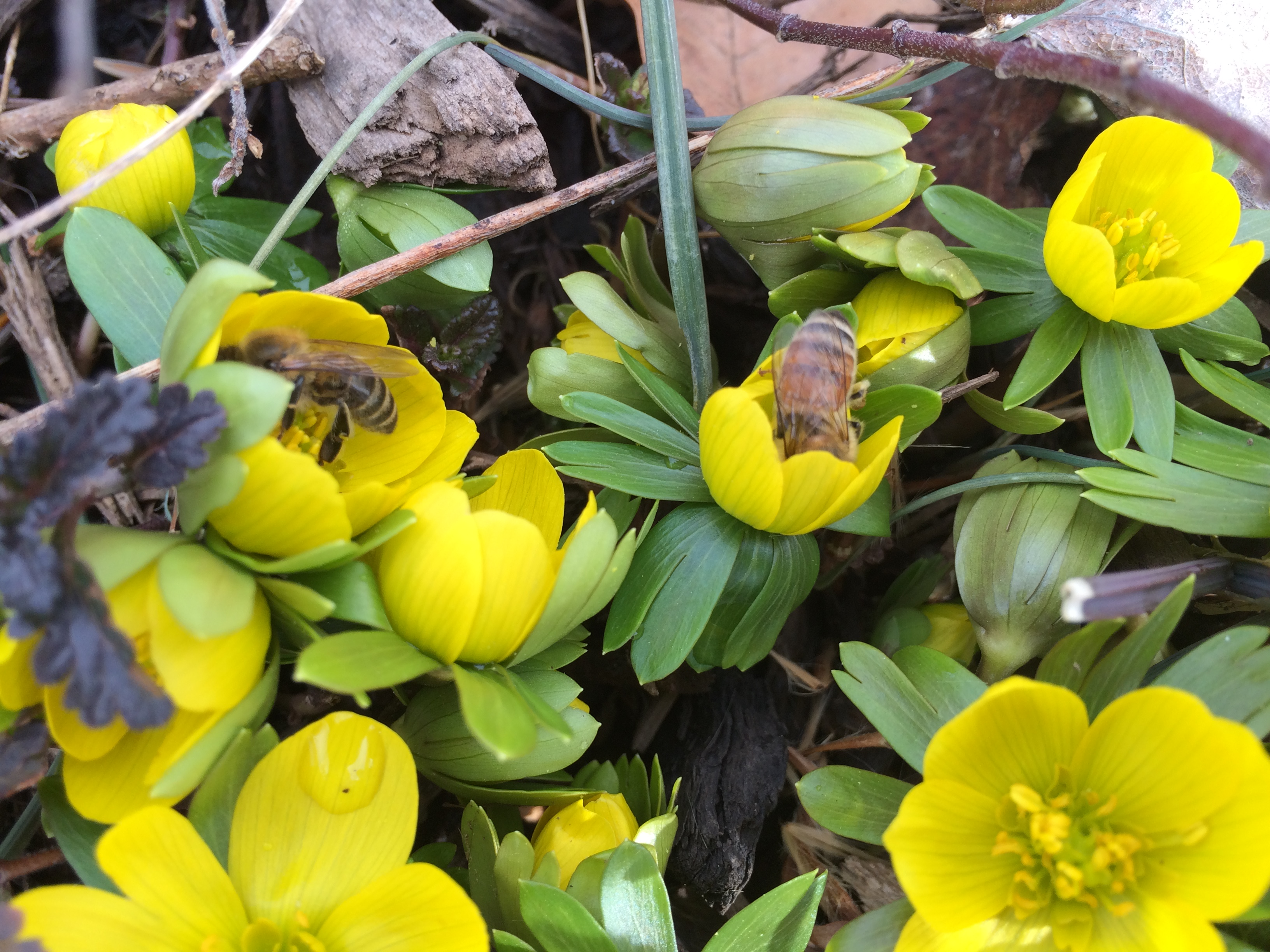 Early Spring Nectar And Pollen Sources For Bees Keeping Backyard Bees