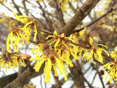 Witch Hazel is one of the first shrubs that bloom in the spring