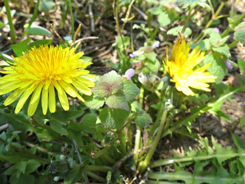 Dandelions are an excellent early spring foraging plant