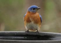 blue bird male