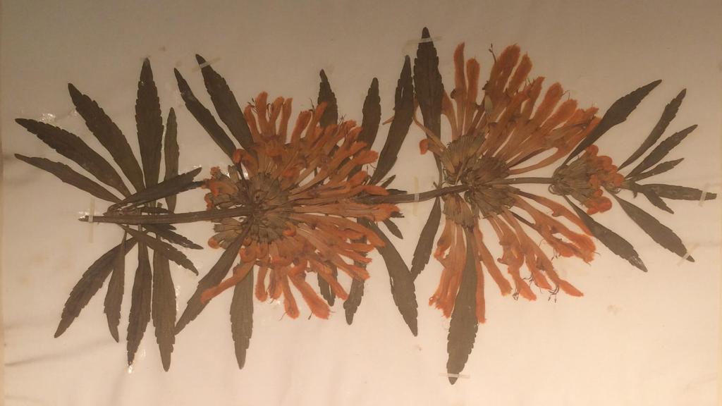 Pressed herbarium specimen of Leonotis leonurus from the Duchess of Beaufort's Chelsea garden, 1712.