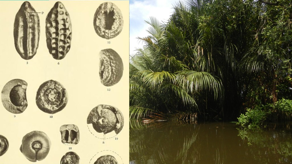 Fossil seeds from the London Clay, and modern Nipa palms growing in the Phillipines.