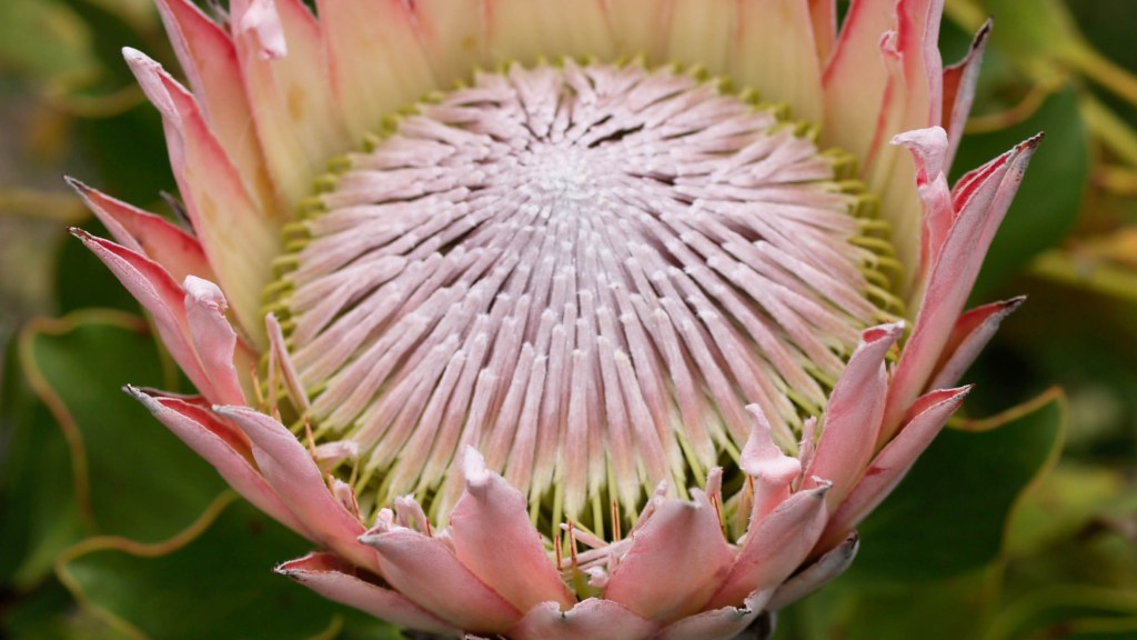 Protea cynaroides (King Protea), close-up of flower.