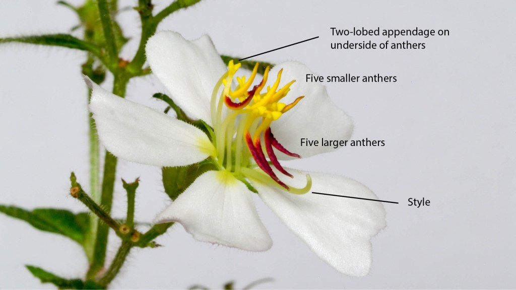 Tibouchina paratropica, close-up of flower.
