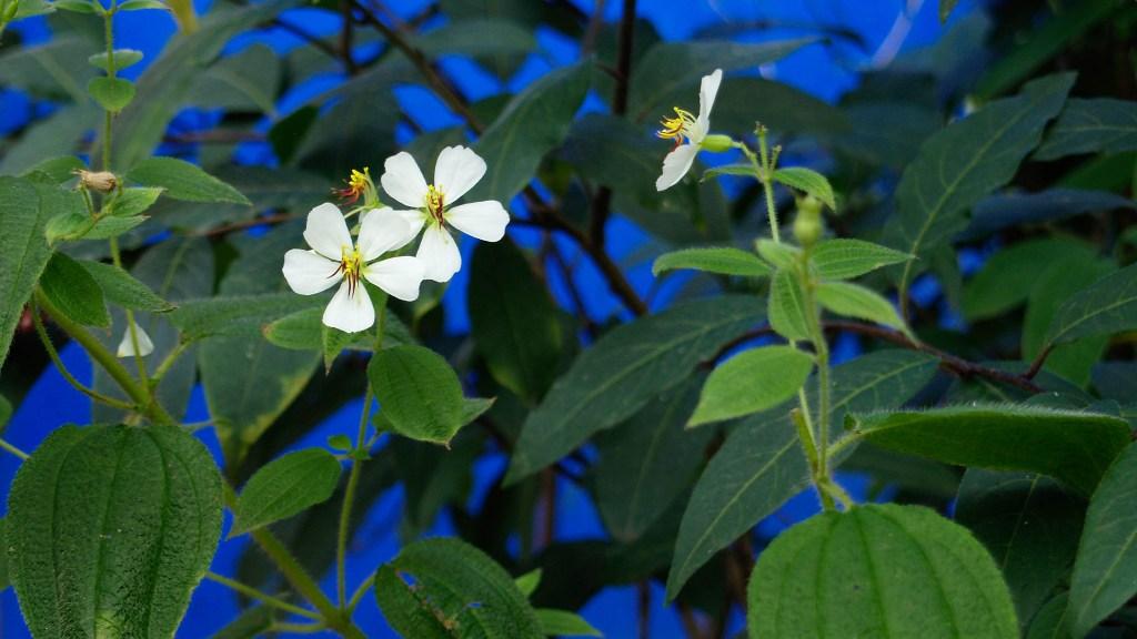 Tibouchina paratropica growing outdoors in my Camberwell garden