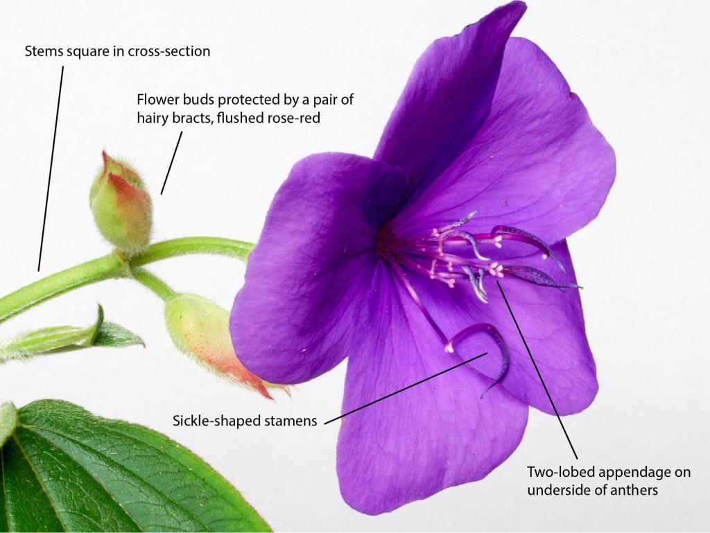 Tibouchina urvilleana. Close-up of flower.