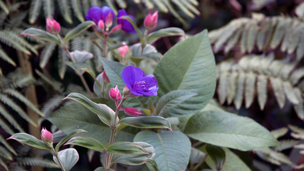 Tibouchina urvilleana growing outdoors in my Camberwell garden.