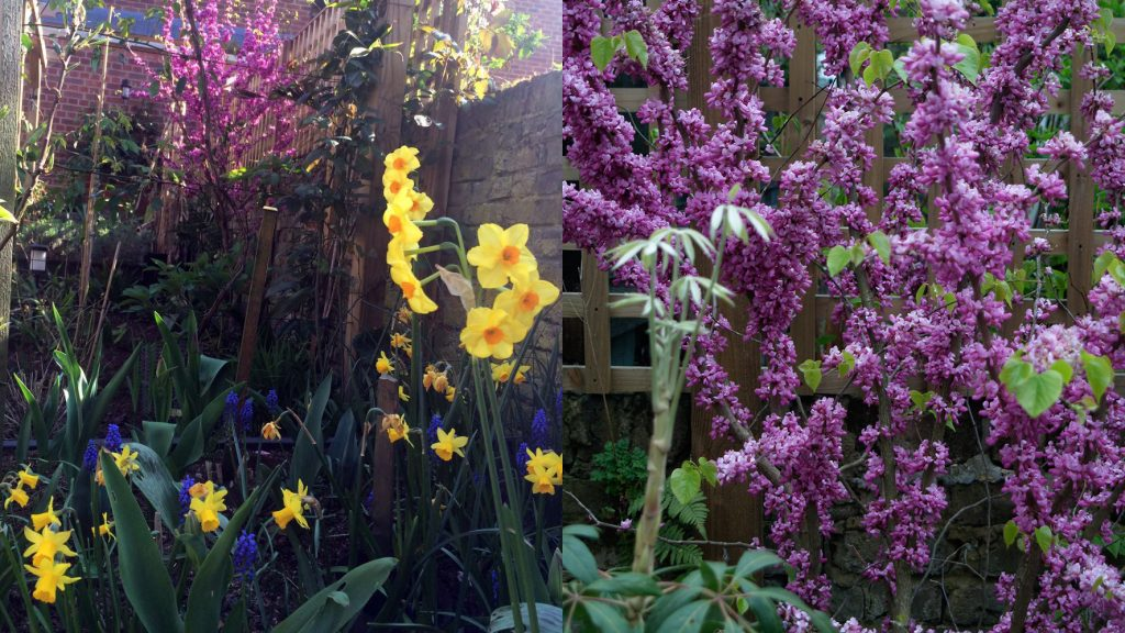 Cercis chinensis 'Don Egolf', with (left) dwarf Narcissus including 'Tête-à-tête', and grape hyacinths (Muscari armeniacum) in foreground.
