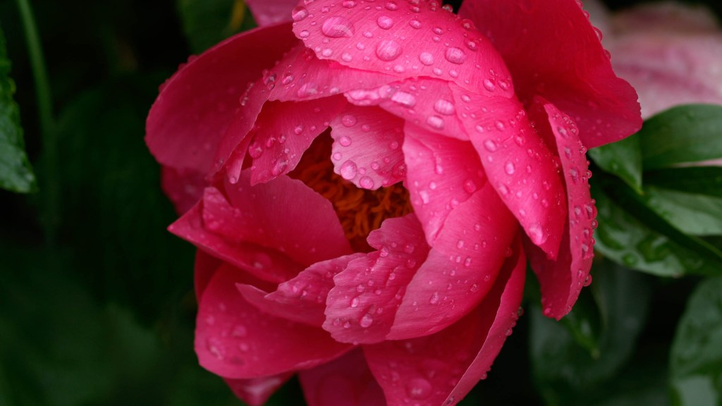 Pink peony with raindrops.